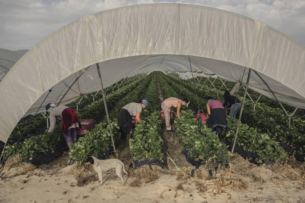 Mujeres marroquíes recogen la fresa en los invernaderos de Palos de la Frontera (Huelva).