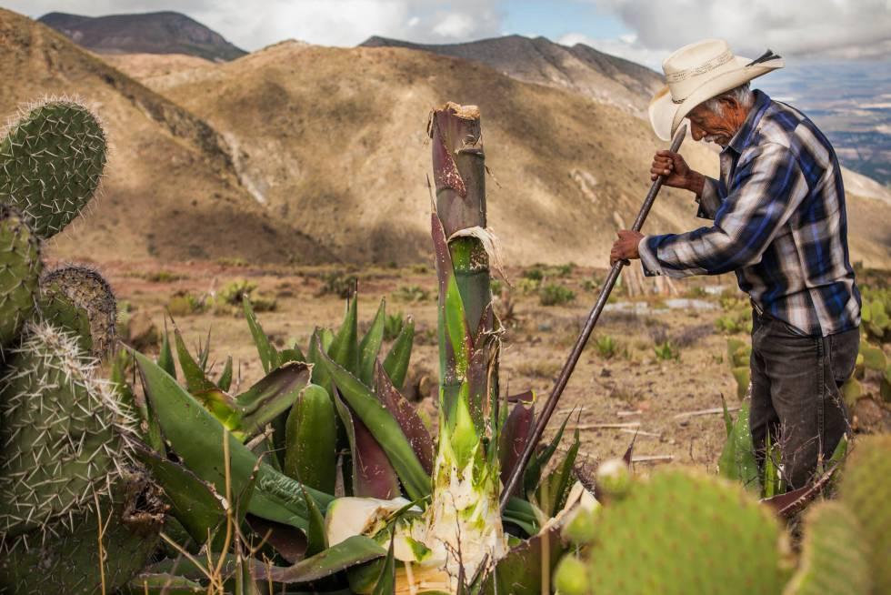 Juan Martinez corta el quiote, tronco de la planta del maguey, para procurar los alimentos para el burro y el caballo que tiene en su casa, medio de transporte tradicionales de esta zona.