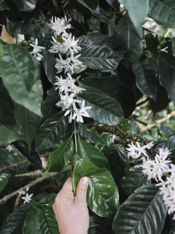 La intensidad de la florescencia de los cafetales, como aquí, indica si habrá una buena cosecha ocho meses después.