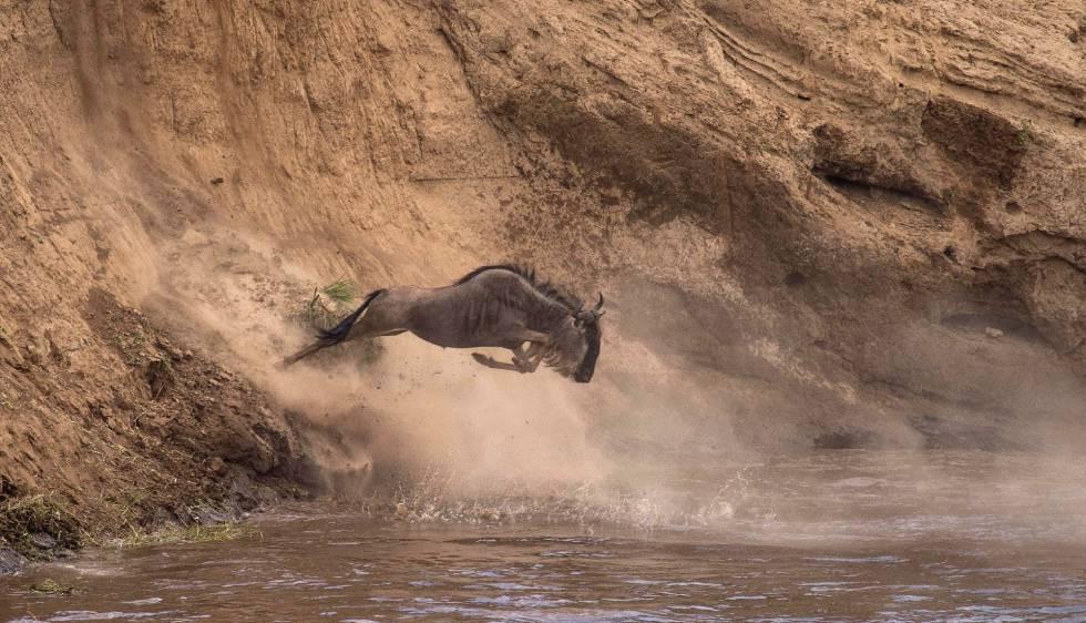 Un ñu se arroja al agua en el Parque Nacional de Masái Mara (Kenia) el pasado 7 de agosto.