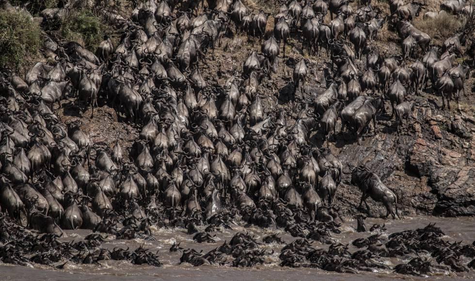 Miles de ñus cruzan el río Mara, en el suroeste de Kenia, tras recorrer cientos de kilómetros desde las norteñas llanuras del Parque de Serengeti, en Tanzania. Este año por primera vez, el número de turistas presenciando la Gran Migración se ha visto muy mermado debido al impacto de la pandemia global de la covid-19.