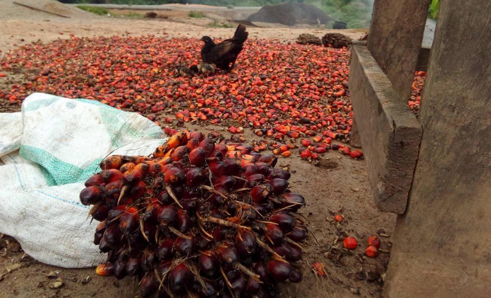 Recolección de frutos de la palma aceitera en una plantación industrial en Camerún, uno de los principales productores africanos de aceite de palma.