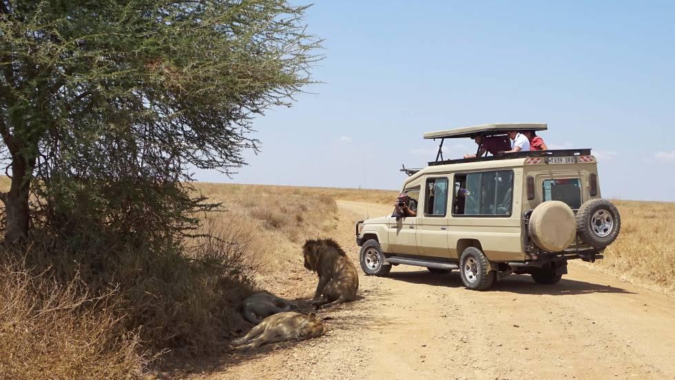 Una imagen insólita en el Serengeti, un grupo de leones dormitando y solo dos vehículos de turistas fotografiándolos.