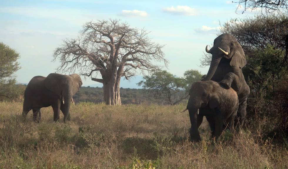 Una pareja de elefantes copula cerca de uno de los caminos que atraviesa el parque nacional de Tarangire. ¿Símbolo de la relajación de la natualeza tras cuatro meses sin turistas?