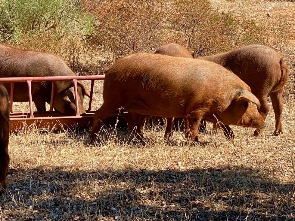 Cerdos ibéricos rubio dorado en la serranía de Ronda. J.C. CAPEL