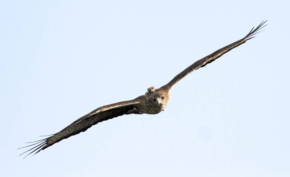 Un águila perdicera con un emisor GPS en su espalda.