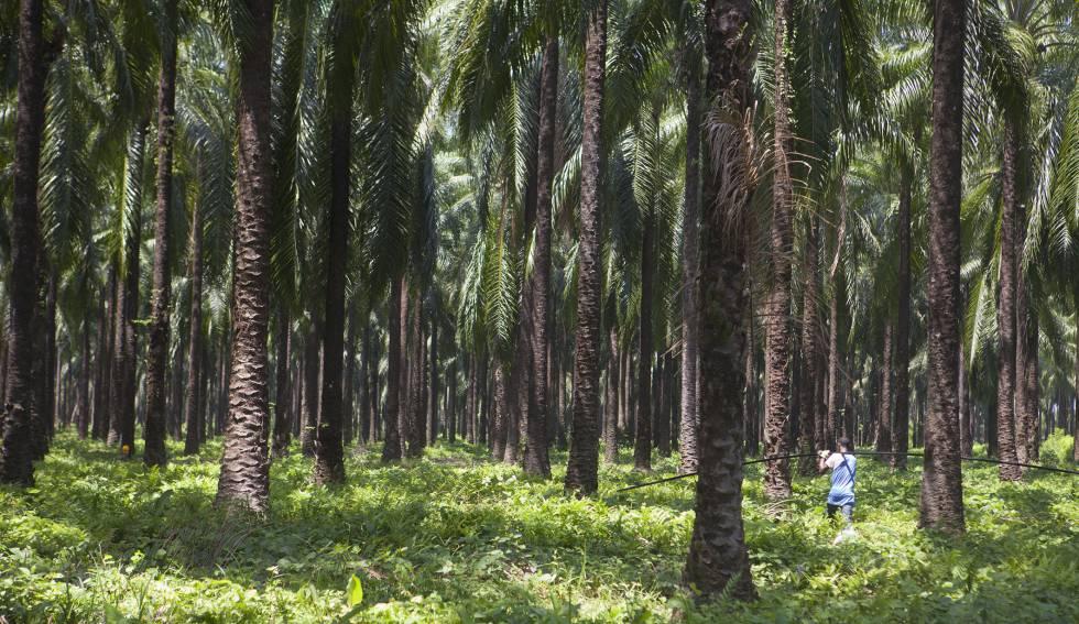 Plantación de palma aceitera africana. Gracias a la expansión de la frontera agrícola, Latinoamérica se convirtió en el principal productor y exportador de alimentos del mundo.