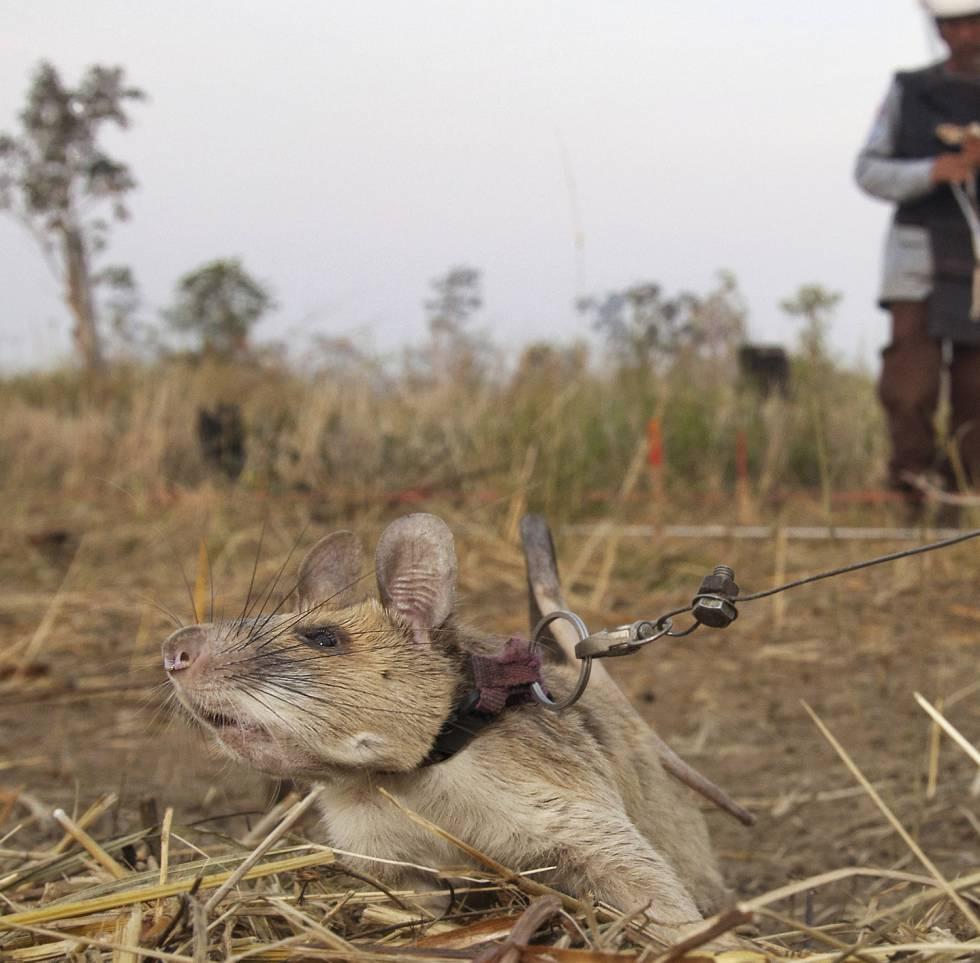 La rata Magawa, sobre el terreno.
