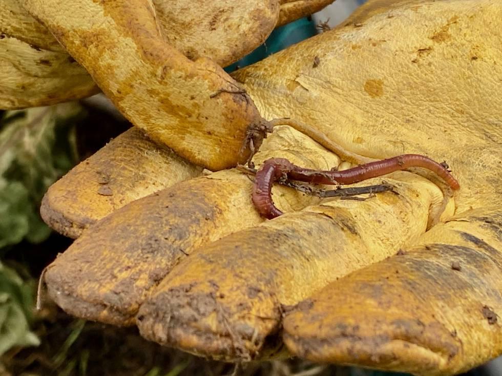 Lombrices en uno de los depósitos de abono orgánico. J.C. CAPEL