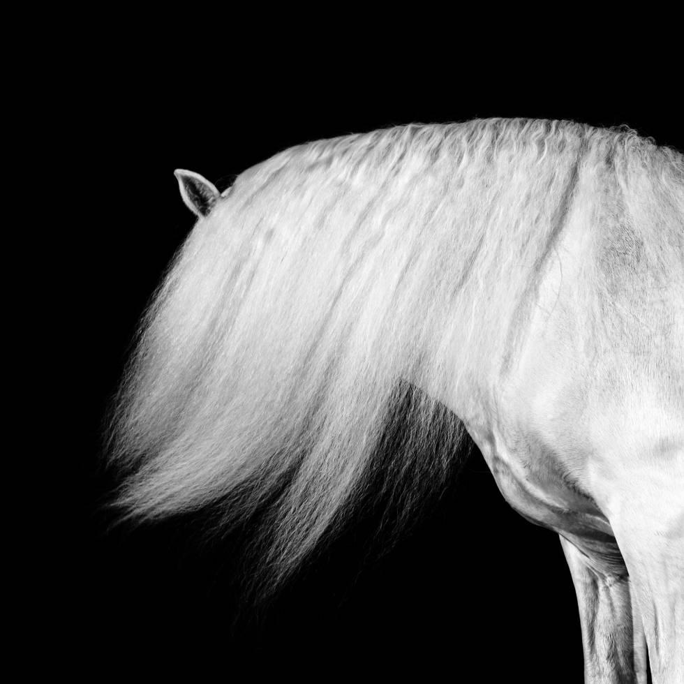 Uno de los caballos tordos de la yeguada Cartuja-Hierro del Bocado, estirpe del PRE fundada en el siglo XV por monjes cartujanos cerca de Jerez de la Frontera que depende en la actualidad de la Dirección General de Patrimonio.
