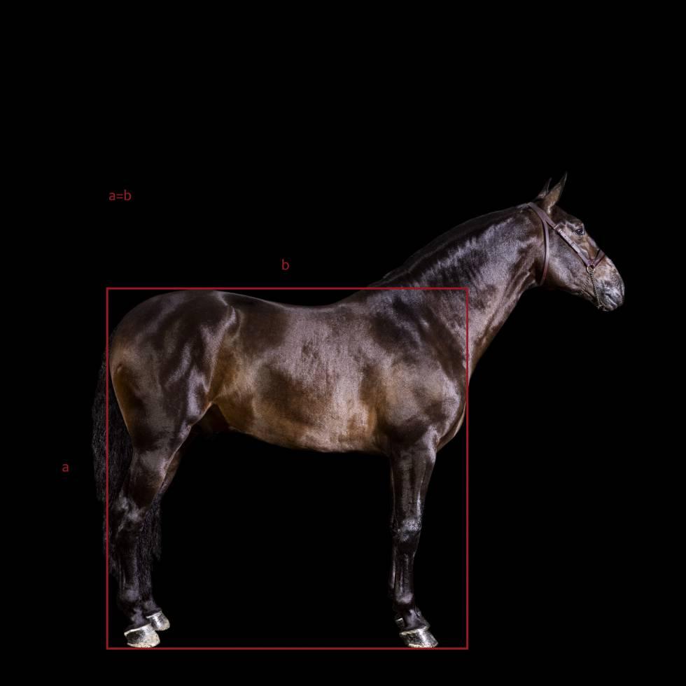 'Virrey Mor', de la yeguada mexicana Las Morerías, elegido mejor caballo de pura raza española de 2020. Una de las características del PRE son sus armónicas proporciones: la altura de la cruz coincide con el largo del tronco.