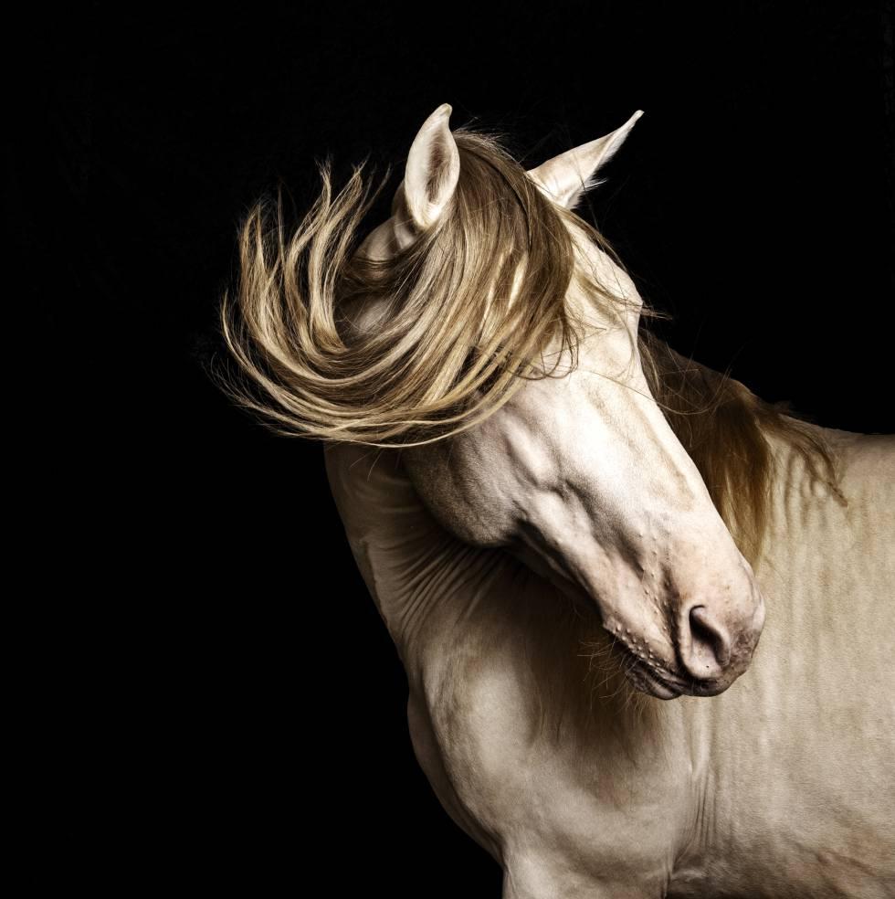 'Ungido', un caballo de pura raza espalola de capa baya perla de la yeguada Las Cadenas.