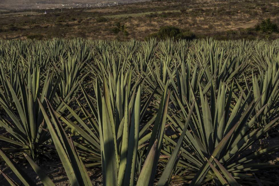 Vista de los campos de agave espadín en las cercanías de Santiago Matatlán, en el Estado mexicano de Oaxaca.