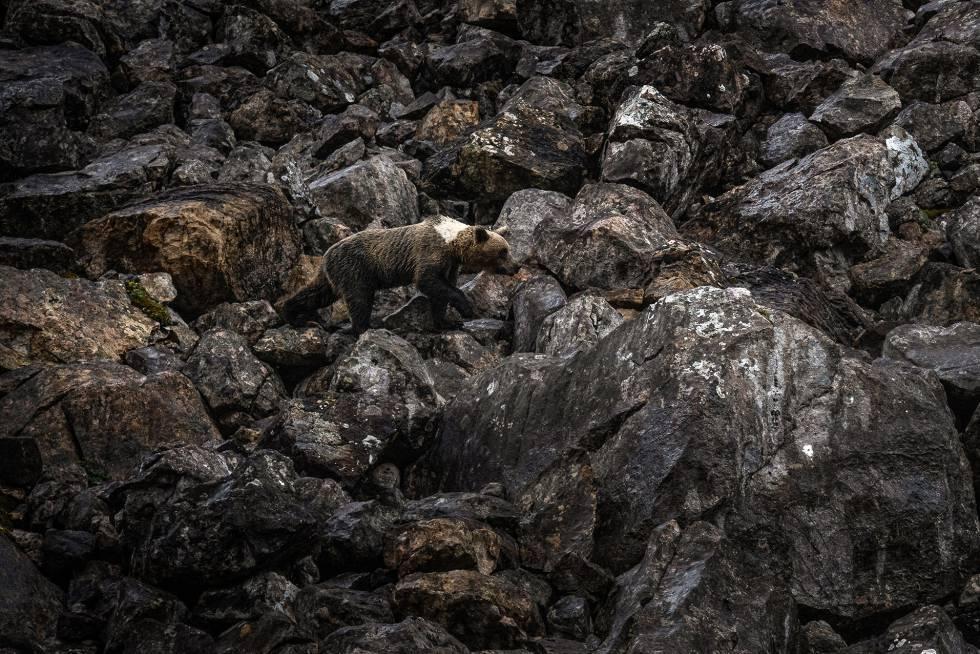 Fotos: El oso pardo, vecino esquivo del Cantábrico