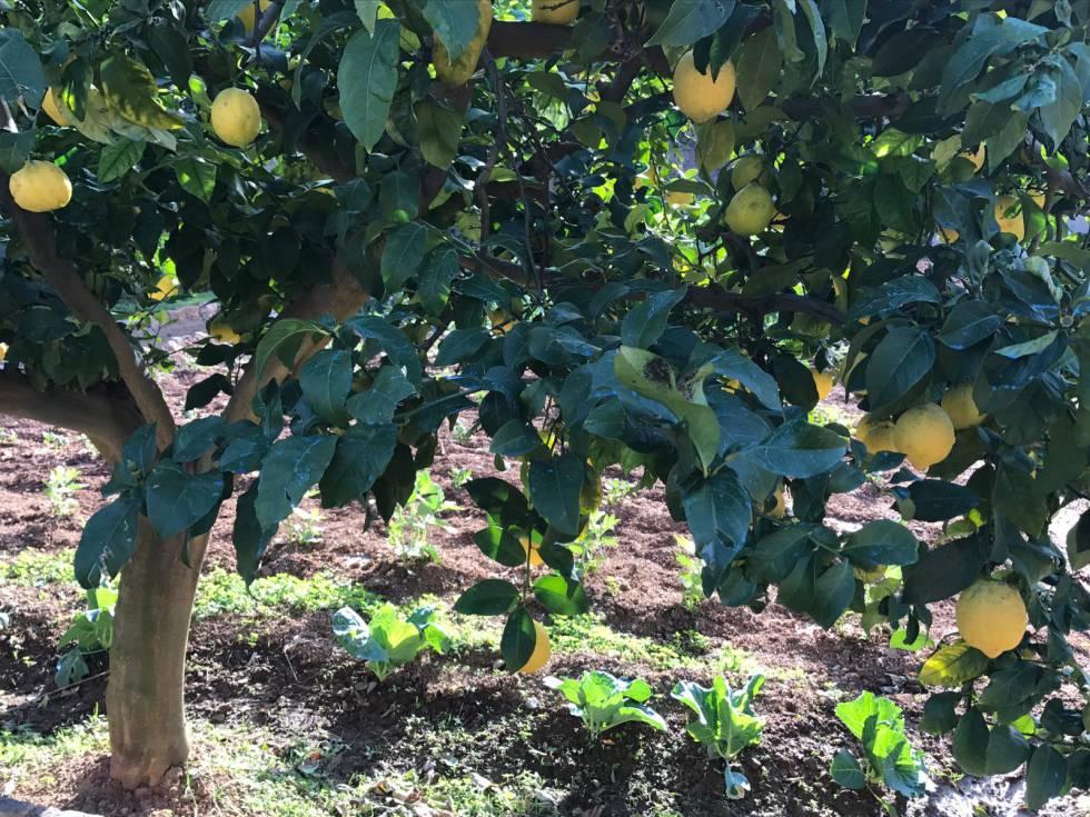 Mientras hablamos, un montón de pájaros hacen coro en las ramas de los limoneros.