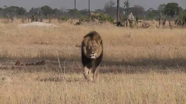 O leão Cecil, no Zimbábue.