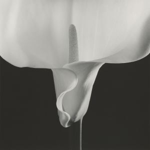 'Calla Lily' (1988), de Robert Mapplethorpe.