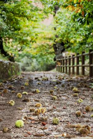 A path covered with chestnuts.