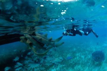 Tiburones nodriza y rayas de espina en torno a un barco de turistas en el Shark Ray Alley (Belice).