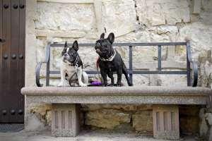 Dos perros bulldog en un banco del pueblo de Albarracín.