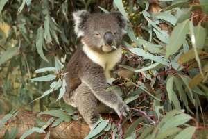 Un koala en la reserva natural de Tidbinbilla.