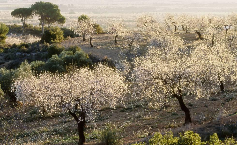 Almendros en flor en Villalpardo (Cuenca).