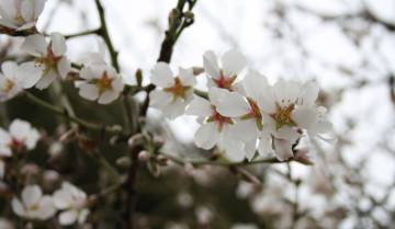Flor del almendro, en Cehegín (Murcia).