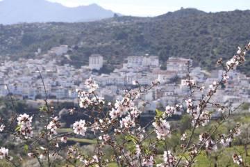 Almendro en flor en el pueblo malagueño de Guaro, al fondo.