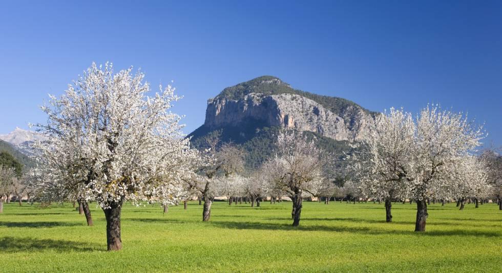 Almendros en flor en Alaró (Mallorca), con la sierra de Tramuntana al fondo.