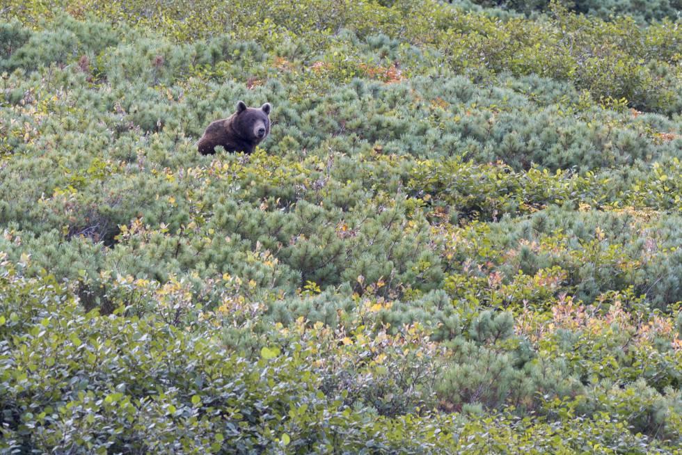 Un oso en la región rusa de Kamtchatka.
