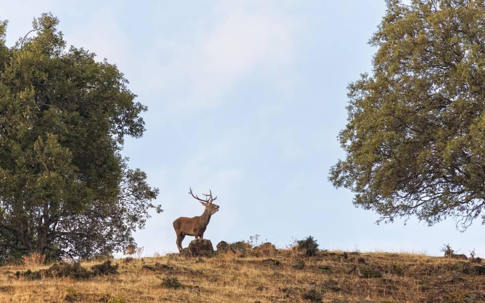 Un ciervo macho en el parque nacional de Monfragüe, en Cáceres.