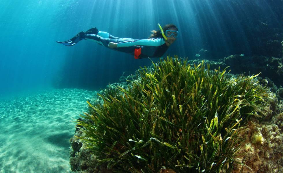 Una pradera de posidonia en los fondos marinos de Ibiza.