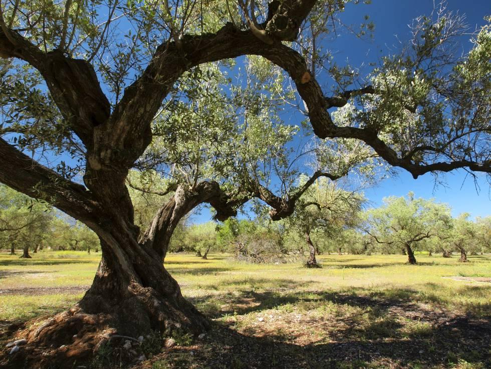 Resultado de imagen de calanda olivos monte