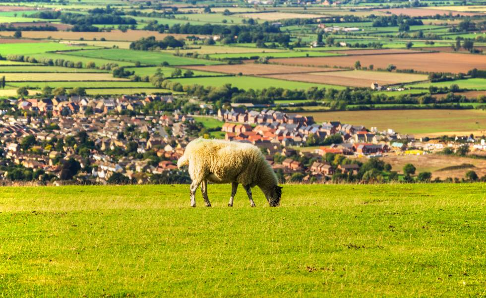 Una oveja en Cleeve Hill, cerca de Cheltenham, en los Cotswolds (Inglaterra).