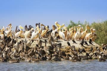 Pelícanos en el parque nacional de Djoudj, al norte de Saint Louis.
