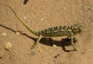 Un camaleón en las dunas de El Asperillo, en Doñana.