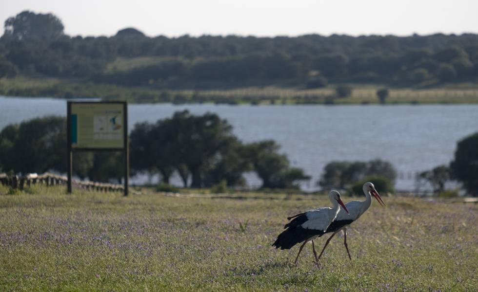 Cigüeñas en la laguna de la Dehesa de Abajo (Sevilla).