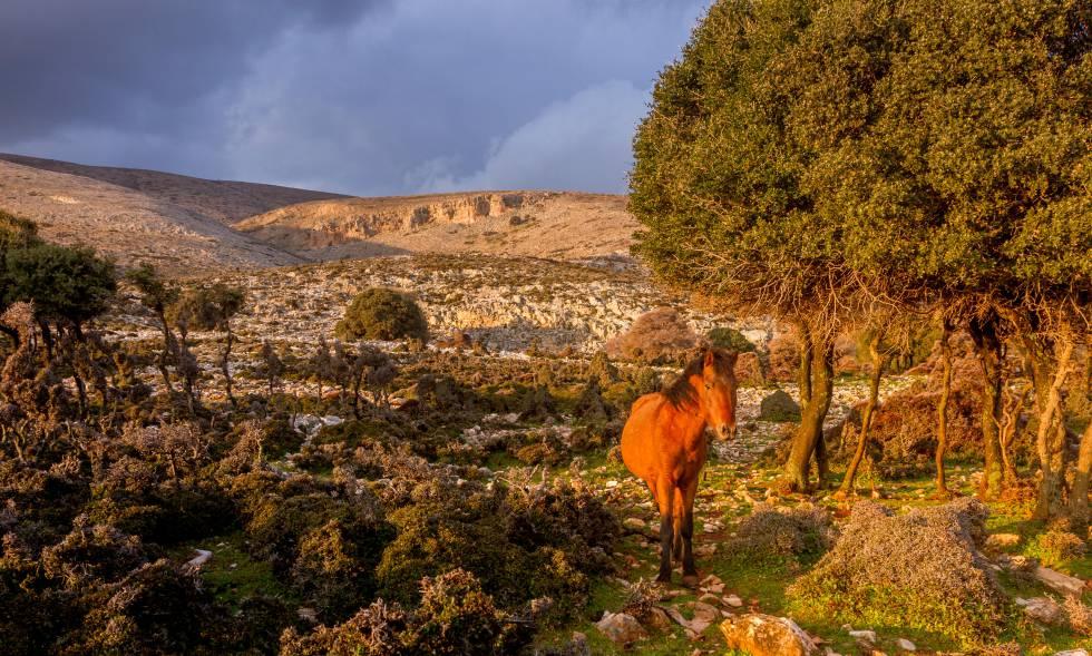 Un caballo de Esciro en la isla griega del mismo nombre.