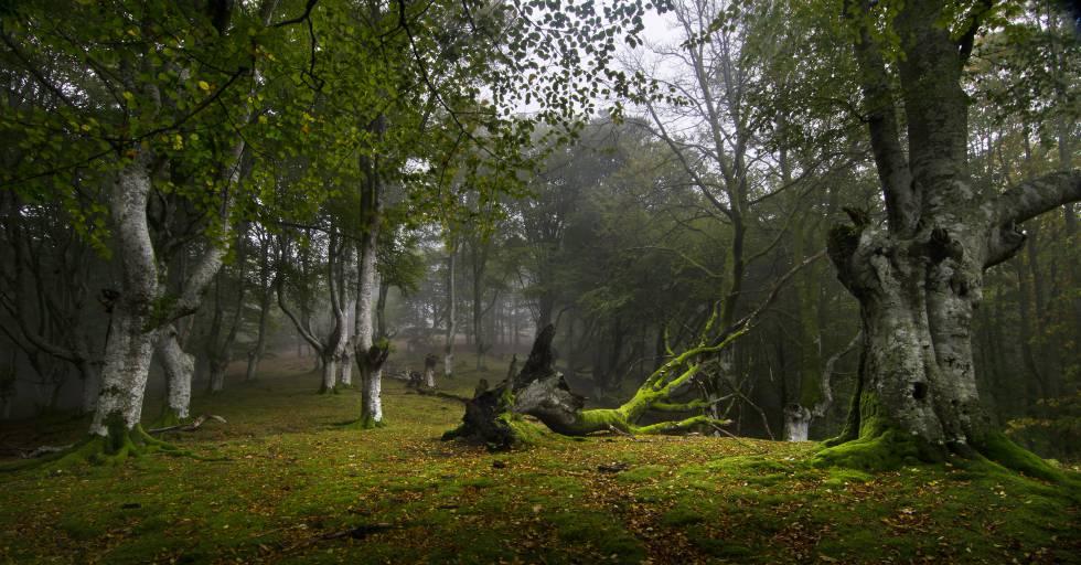 El bosque de Artikutza, en Navarra, un paraíso para buscadores de setas.