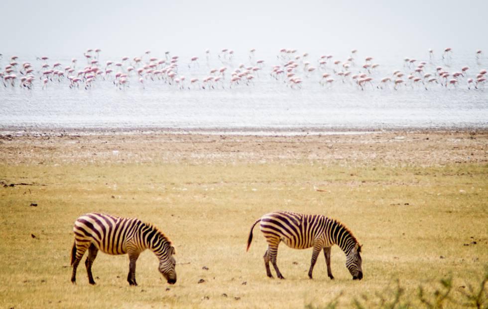 Cebras y flamencos forman parte del paisaje habitual en el parque nacional del lago Manyara, en el norte de Tanzania.