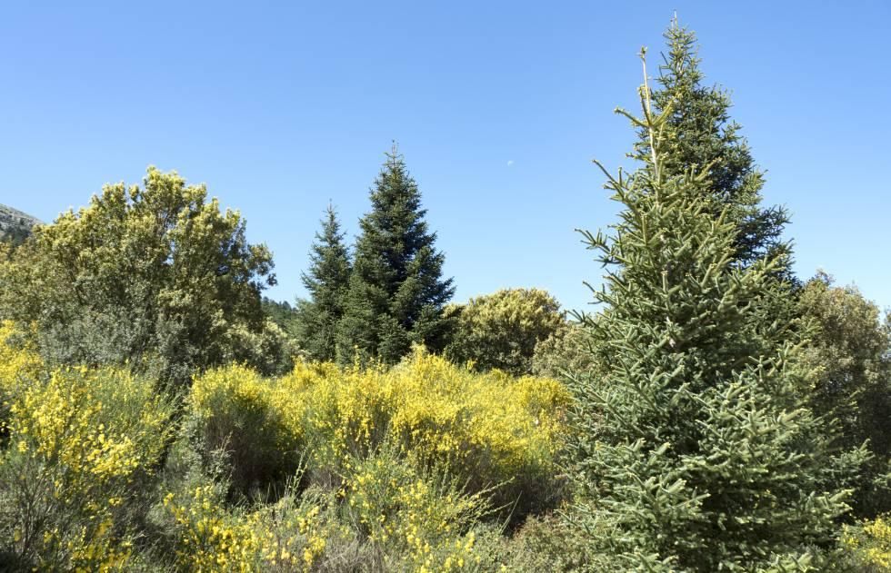 Pinsapos en el parque natural Sierra de las Nieves, en la provincia de Málaga.