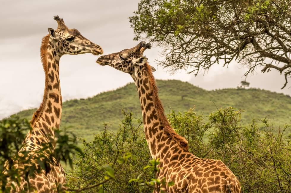 Jirafas en el parque nacional del Serengueti (Tanzania).