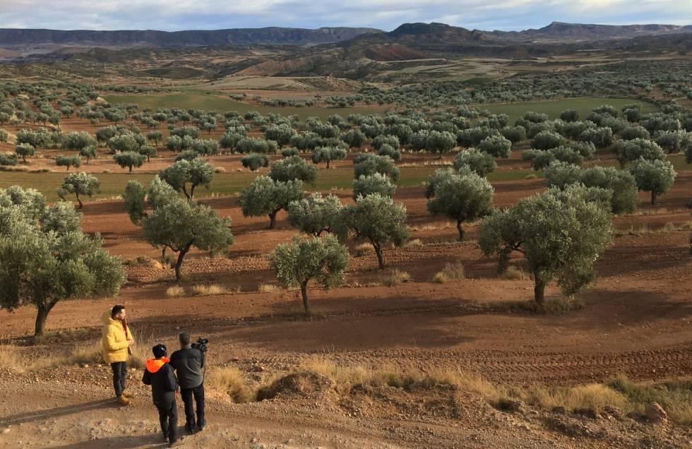 Campo de olivos en Oliete, en la provincia de Teruel.