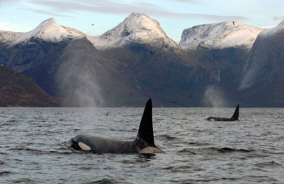 Orcas a la caza de arenques en la costa noruega de Tysfjord.