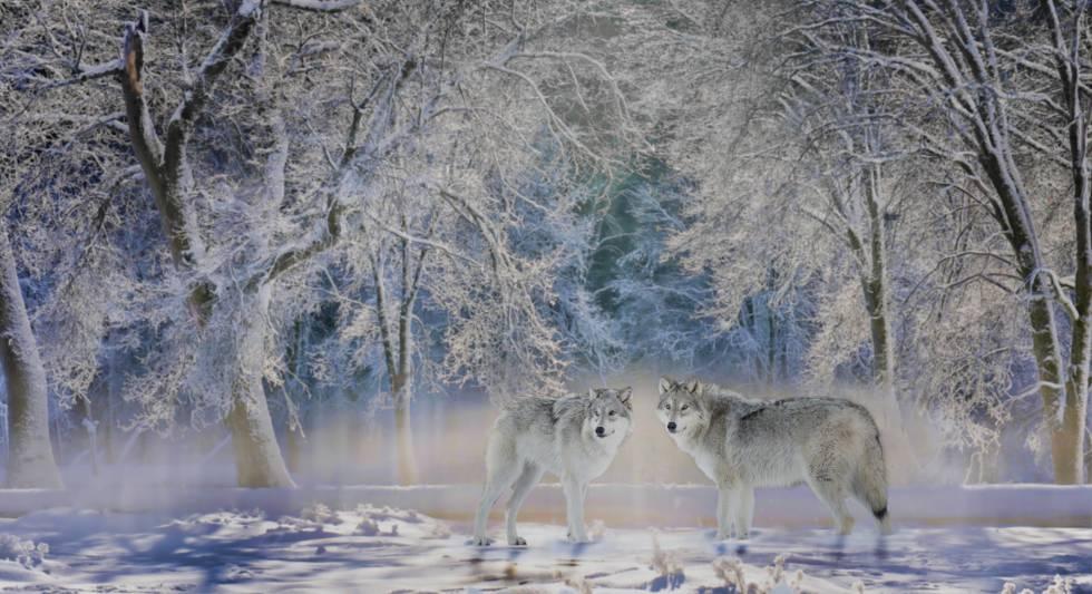 Dos lobos en el parque nacional de Yellowstone (EE UU), uno de los paisajes observados por el ecologista y escritor Carl Safina.