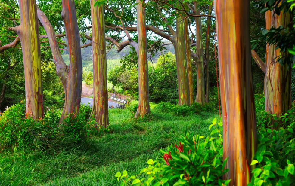 Los denominados árboles arcoíris en la carretera que va a Hana, en la isla hawaiana de Maui.