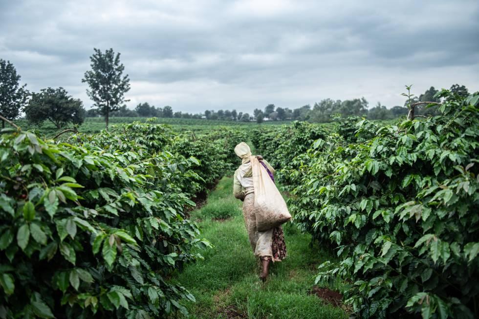Una plantación de café en Ruiru (Kenia).