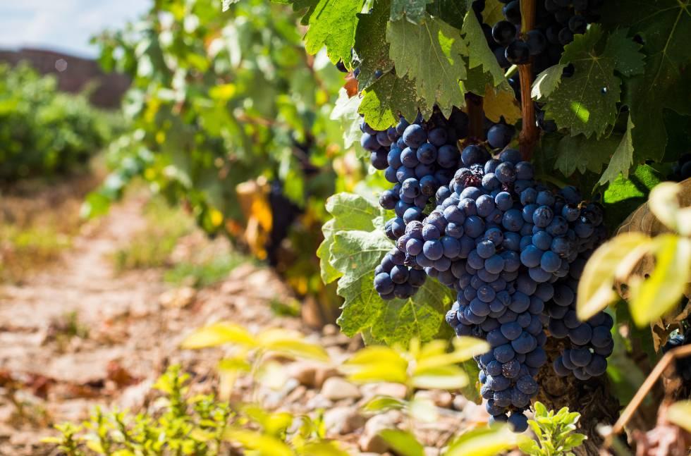 Uvas de tempranillo en el viñedo de la bodega Marqués de Murrieta, en La Rioja.
