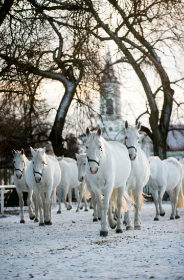 Caballos en los establos reales de Kladruby nad Labem, en Bohemia oriental (República Checa).
