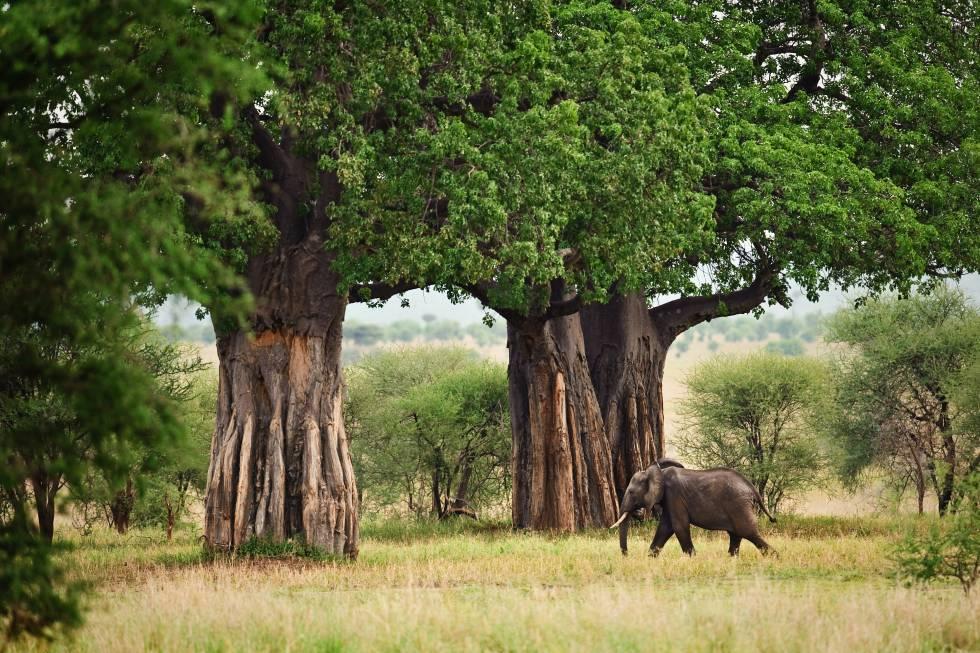 Baobabs en el parque nacional de Tarangire (Tanzania).